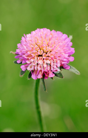 Pigeon Scabious, Pincushion Flower, Small Scabious or Dove Pincushion (Scabiosa columbaria), Provence, Southern - Stock Photo