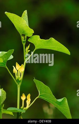 Birthwort (Aristolochia clematitis), Provence, Southern France, France, Europe - Stock Photo