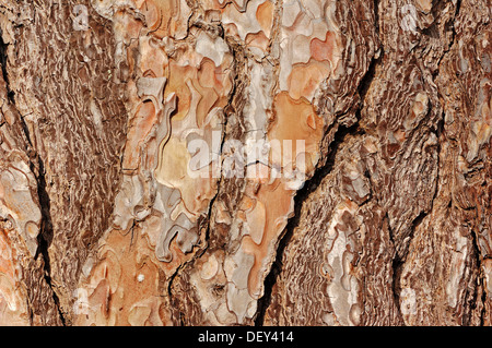 Aleppo Pine (Pinus halepensis), detail of bark, Provence, Southern France, France, Europe - Stock Photo