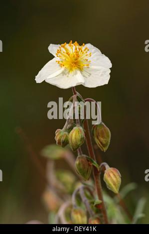 White Rock-rose (Helianthemum apenninum), Provence, Southern France, France, Europe