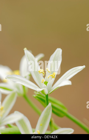 Narbonne Star-of-Bethlehem, Pyramidal Star-of-Bethlehem or Southern Star-of-Bethlehem (Ornithogalum narbonense), - Stock Photo