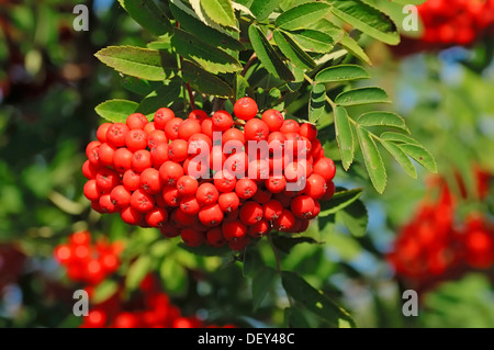 European Rowan or Mountain-ash (Sorbus aucuparia), berries, North Rhine-Westphalia - Stock Photo