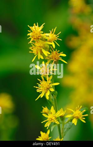 European Goldenrod or Woundwort (Solidago virgaurea), North Rhine-Westphalia - Stock Photo