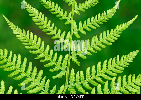 Lady Fern (Athyrium filix-femina), leaf detail, North Rhine-Westphalia - Stock Photo