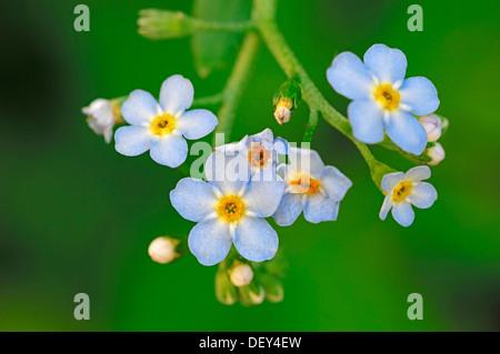Water Forget-me-not or True Forget-me-not (Myosotis scorpioides, Myosotis palustris), North Rhine-Westphalia - Stock Photo