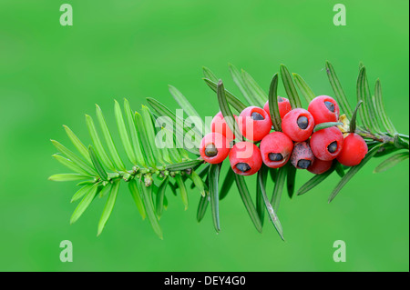 Yew (Taxus baccata), twig with berries, poisonous plant, North Rhine-Westphalia - Stock Photo