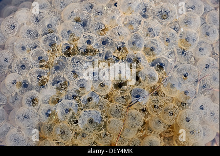 Frog spawn, spawning the common frog (Rana temporaria), North Rhine-Westphalia, Germany - Stock Photo