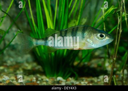 European Perch (Perca fluviatilis), freshwater fish, native to Europe, captive, North Rhine-Westphalia, Germany - Stock Photo