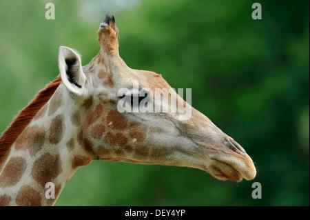 Angolan Giraffe (Giraffa camelopardalis angolensis), portrait, native to Zambia, Namibia, Botswana and Zimbabwe, captive, France