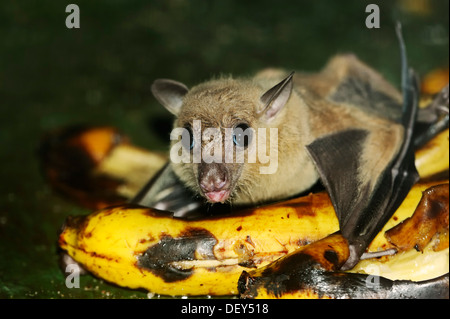 Egyptian fruit bat or Egyptian rousette (Rousettus aegyptiacus), male, feeding on a banana, native to Africa and - Stock Photo
