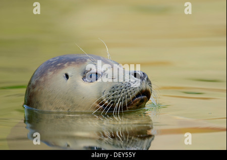Seal (Phoca vitulina), juvenile swimming in the water, captive, Schleswig-Holstein, Germany - Stock Photo