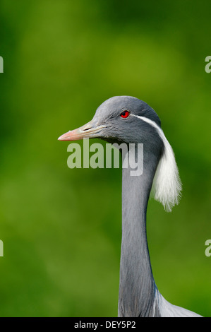 Demoiselle crane (Anthropoides virgo, Grus virgo), portrait, occurrence in Africa and Asia, captive, Germany - Stock Photo