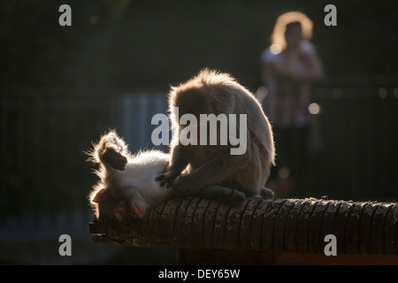 Japanese macaque, Macaca fuscata, grooming in Bioparco, Rome, Italy, Europe - Stock Photo