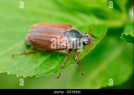 Cockchafer, may bug (Melolontha melolontha), North Rhine-Westphalia, Germany