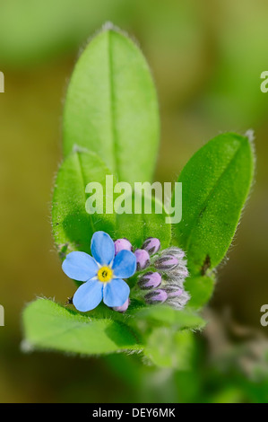 Alpine Forget-me-not (Myosotis alpestris), Bavaria, Germany - Stock Photo