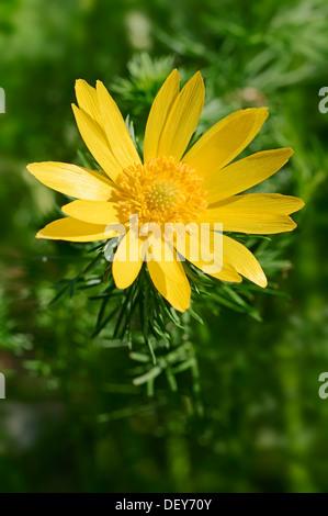 Spring Pheasant's Eye or False Hellebore (Adonis vernalis), flower, Germany - Stock Photo