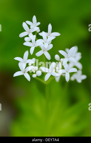 Woodruff or Sweet Woodruff (Galium odoratum) flowers, North Rhine-Westphalia, Germany - Stock Photo