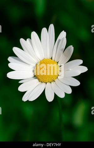 Meadow Daisy or Oxeye Daisy (Leucanthemum vulgare, Chrysanthemum Leucanthemum), flower, North Rhine-Westphalia, - Stock Photo