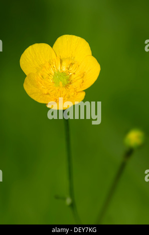 Meadow Buttercup or Tall Buttercup (Ranunculus acris), flower, North Rhine-Westphalia, Germany - Stock Photo