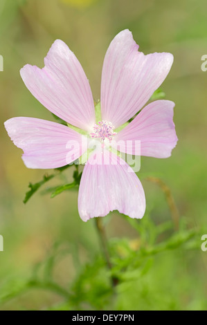 Greater Musk-mallow, Cut-leaved Mallow, Vervain Mallow or Hollyhock Mallow (Malva alcea), flowering, North Rhine - Stock Photo