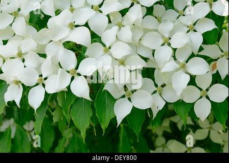 Kousa Dogwood, Chinese Dogwood, Korean Dogwood or Japanese Dogwood (Cornus kousa), flowering, occurrence in Asia - Stock Photo