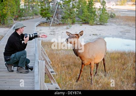 Wildlife photographer taking a photo of a Wapiti Deer (Cervus canadensis), Yellowstone Nationalpark, Wyoming, United - Stock Photo