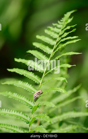 American Green Tree Frog (Hyla cinerea) sitting on fern frond, Corkscrew Swamp Sanctuary, Florida, United States - Stock Photo