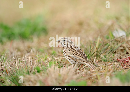 Savannah Sparrow (Passerculus sandwichensis) in the grass, Florida, United States - Stock Photo