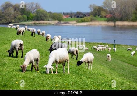 Grazing sheep in the Elbdeich in the 4 and march landing, Hamburg, Germany, Europe, Weidende Schafe am Elbdeich - Stock Photo