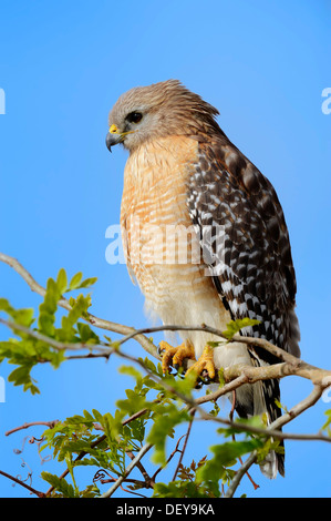 Red-shouldered Hawk (Buteo lineatus), Myakka River State Park, Florida, United States - Stock Photo