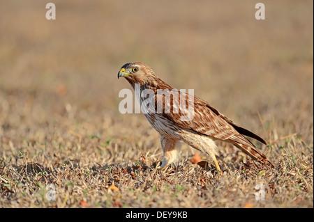 Red-shouldered Hawk (Buteo lineatus), juvenile, Everglades-Nationalpark, Florida, United States - Stock Photo