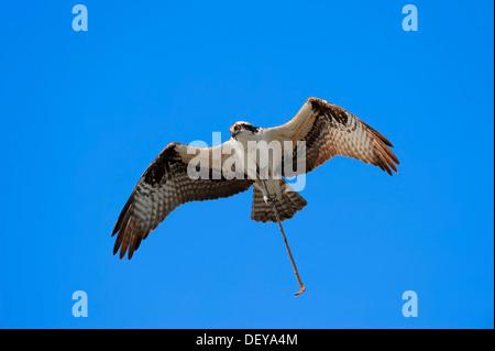 Osprey (Pandion haliaetus carolinensis) in flight with nesting material, Everglades-Nationalpark, Florida, United - Stock Photo