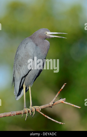 Little Blue Heron (Egretta caerulea), Sanibel Island, Florida, United States - Stock Photo