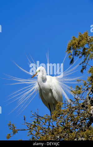 Great Egret (Casmerodius albus, Egretta alba), courtship display, Florida, United States - Stock Photo