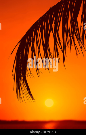Coconut Palm (Cocos nucifera), palm leaf, palm fronds at sunset, Sanibel Island, Florida, United States - Stock Photo