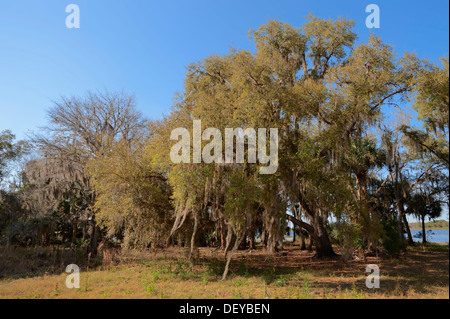 Southern Live Oak (Quercus virginiana) covered in Spanish Moss (Tillandsia usneoides), Florida, United States - Stock Photo