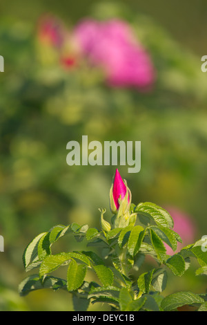 Japanese Rose or Ramanas Rose (Rosa rugosa), Bergisches Land, North Rhine-Westphalia - Stock Photo