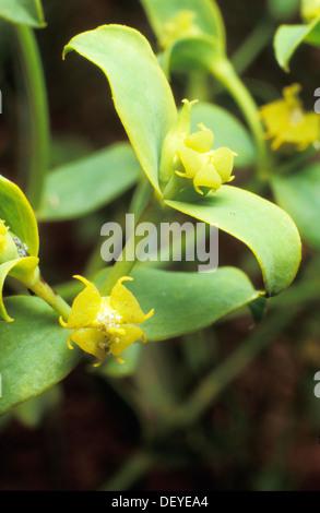 Euphorbia sp. - Stock Photo