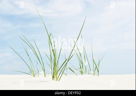 European Marram Grass or European Beachgrass (Ammophila arenaria) on a beach, Amrum, Amrum, North Frisian Islands