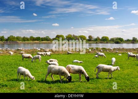 Grazing sheep on the Elbwiesen meadows on the Elbe river in Kirchwerder, Vier- und Marschlande county, Hamburg - Stock Photo
