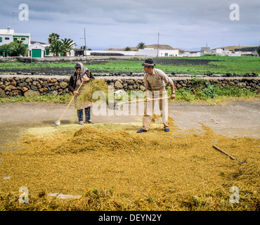 Couple of farmers threshing lentil crop Lanzarote Canary Islands Spain - Stock Photo