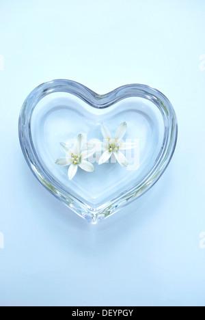 Sleepydick or Star-of-Bethlehem (Ornithogalum umbellatum) flowers in a heart-shaped glass bowl - Stock Photo