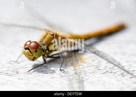 Dragonfly (Odonata), Libelle (Odonata) - Stock Photo
