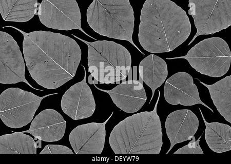 Ficus religiosa. Skeleton structure of Sacred Fig tree leaf / Bodhi tree leaf on black background. Pattern. Monochrome - Stock Photo
