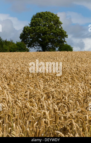 wheat crop crops field grain ready harvest time uk - Stock Photo