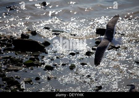 Lesser Black-backed Gull (Larus fuscus) in flight, Lisbon, Portugal, Europe - Stock Photo