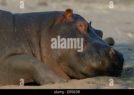 Hippopotamus (Hippopotamus amphibius), Chobe National Park, Kasane, North-West District, Botswana - Stock Photo