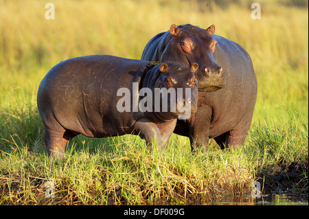 Hippopotamuses (Hippopotamus amphibius), Chobe National Park, Kasane, North-West District, Botswana - Stock Photo