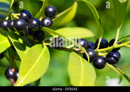 To laurel cherry, cherry laurel, Prunus laurocerasus, Lorbeerkirsche, Kirschlorbeer - Stock Photo