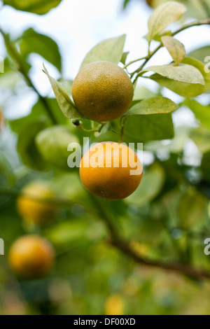 calamondin fruits stock photo royalty free image 127016525 alamy. Black Bedroom Furniture Sets. Home Design Ideas